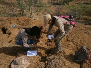 Inició estudio de dieta del Mochuelo de hoyo en los Médanos de Coro