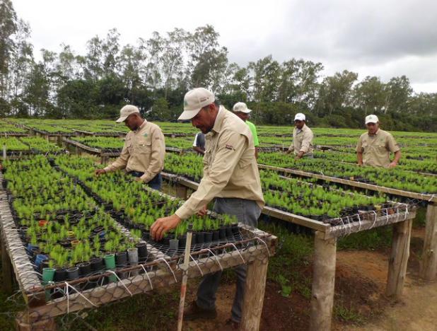 Maderas del Orinoco superó 300% las plantaciones