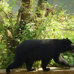 Minea e Inparques establecen proyecto ecoamigable: Oso Andino de Lara contará con protección