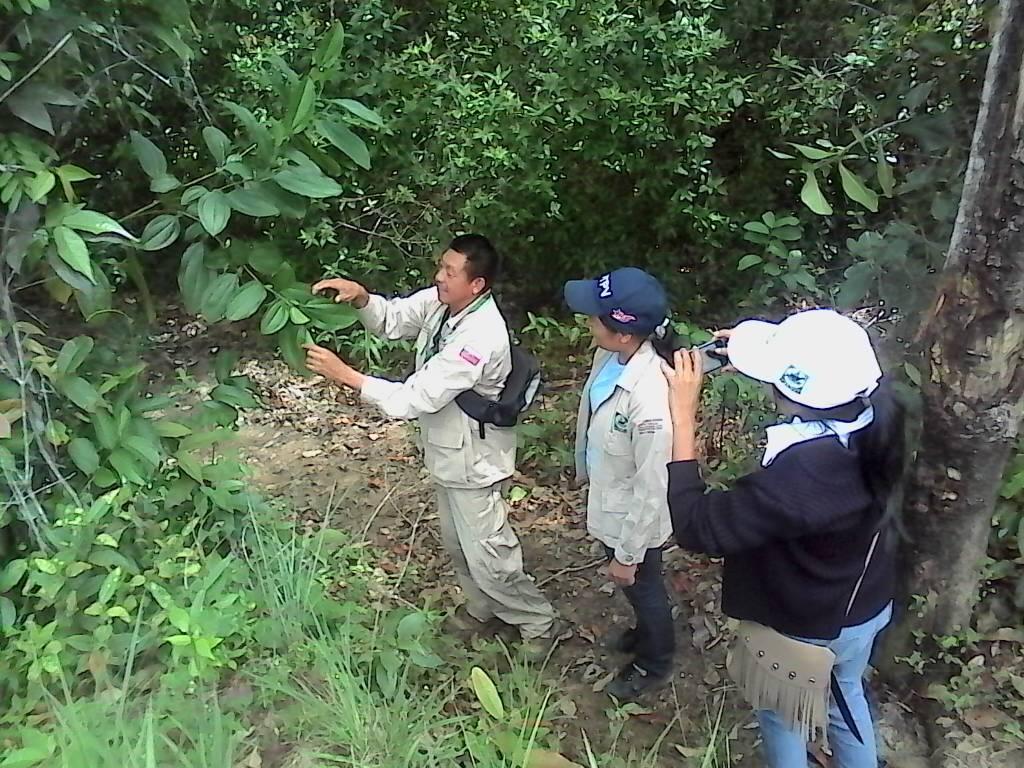 Recolectan semillas de árboles forestales en Canaima