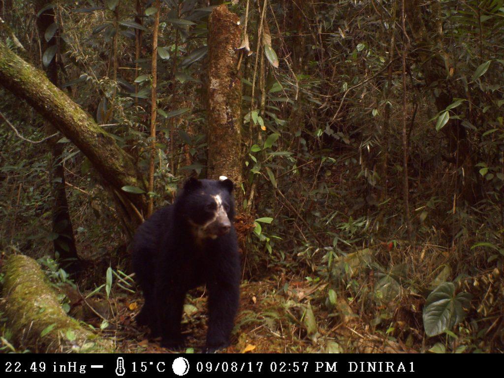Monitoreo en el Parque Nacional Dinira evidencia presencia de oso andino