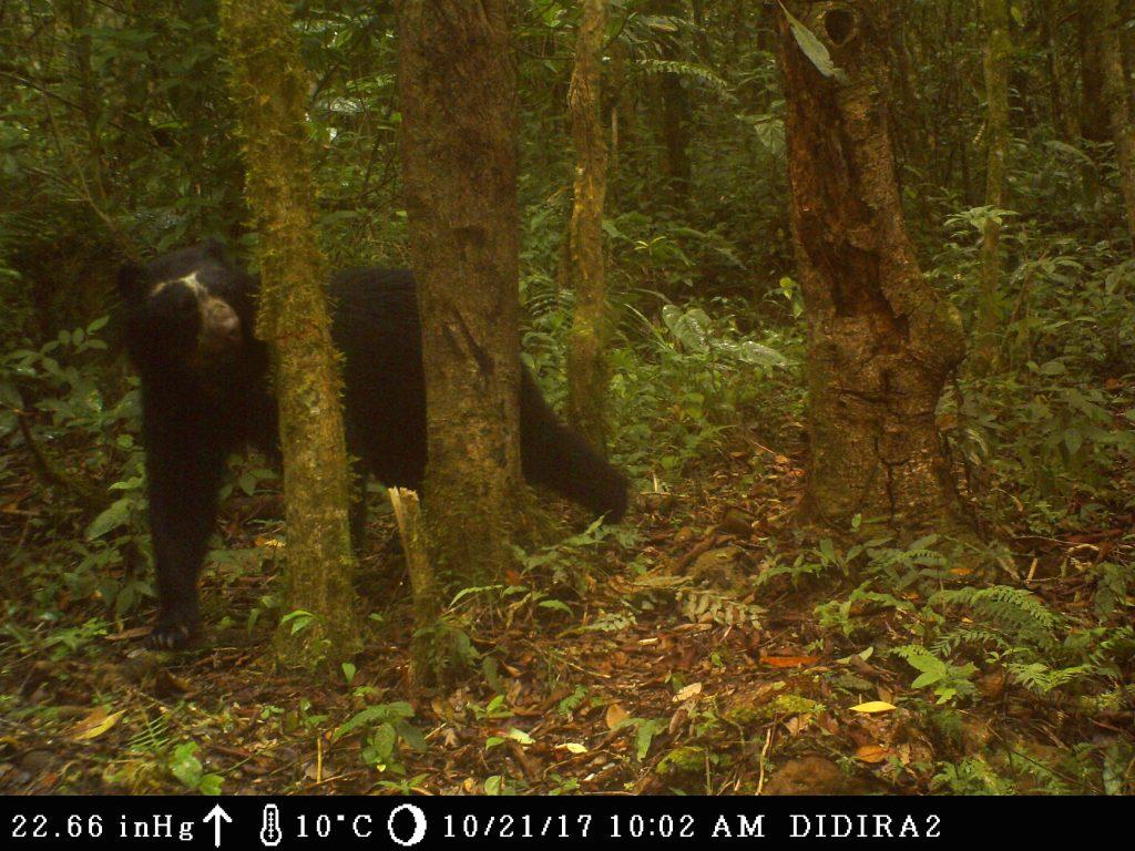 Registran otros dos ejemplares de oso andino en el Parque Nacional Dinira