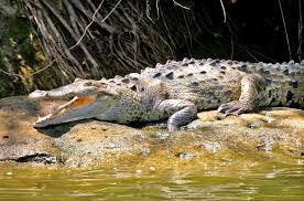 Minea reintegró un ejemplar caimán del Orinoco al zoocriadero de Guárico