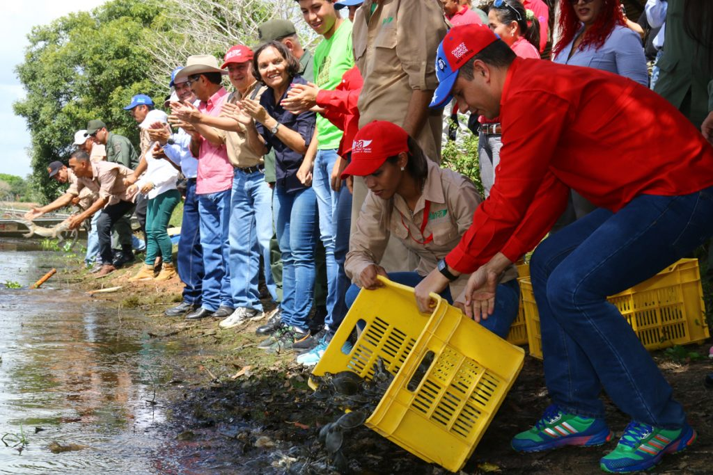 Liberados 42 ejemplares de caimán del Orinoco y mil 500 tortugas en Apure