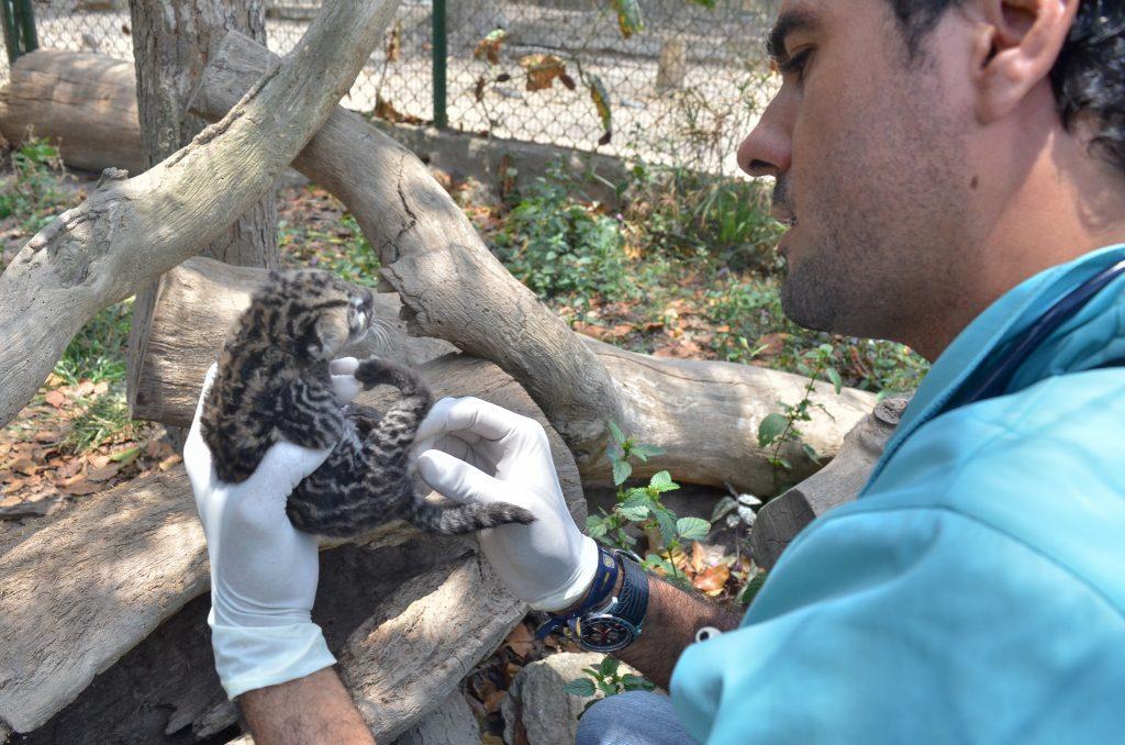 Nació un cunaguaro en el Zoológico de Caricuao