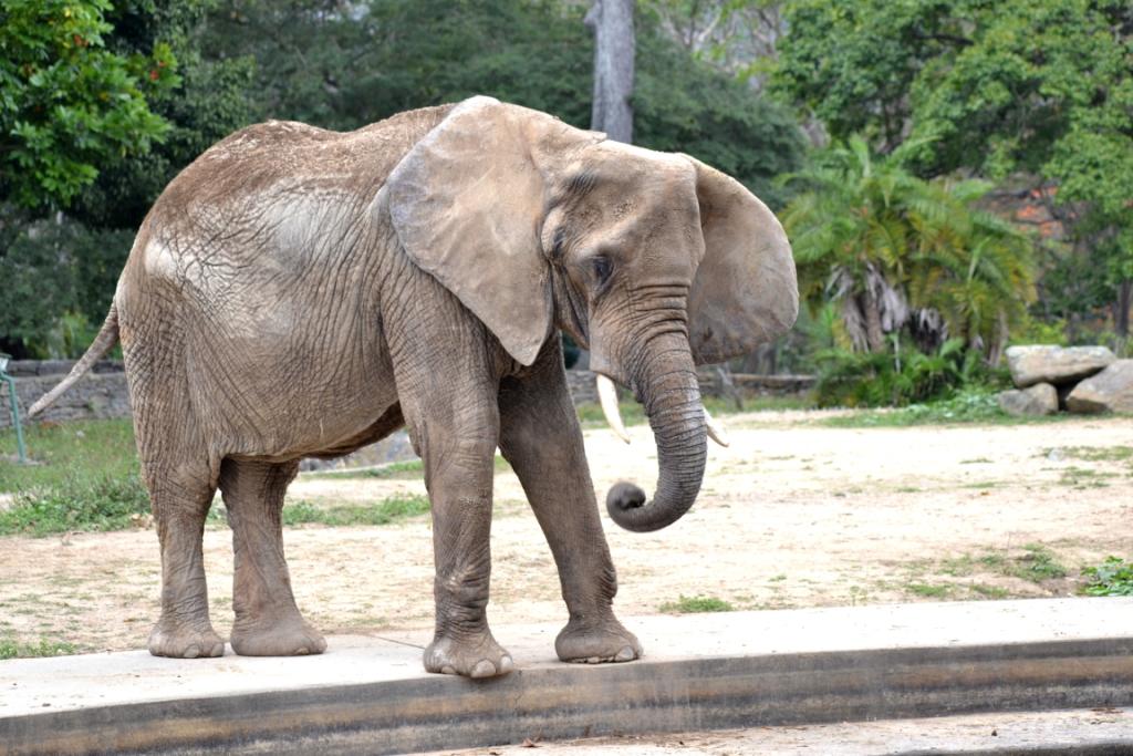 Elefanta Ruperta se recupera de una caída por dificultades de equilibrio