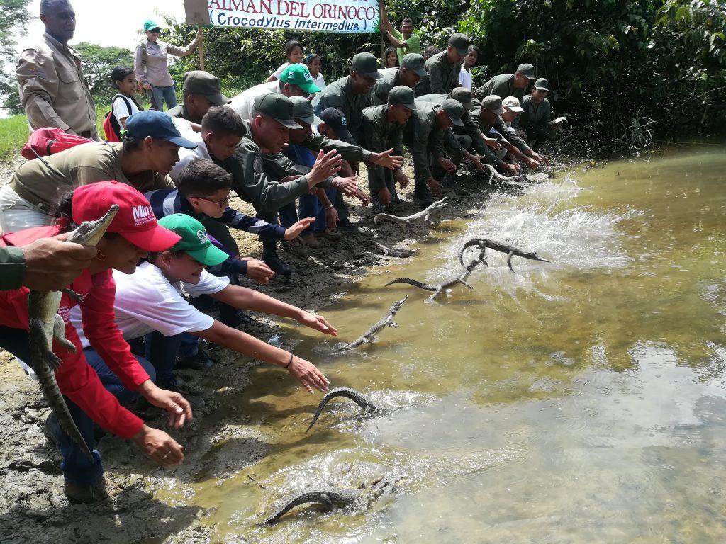 Liberados 65 ejemplares del caimán del Orinoco en Cojedes