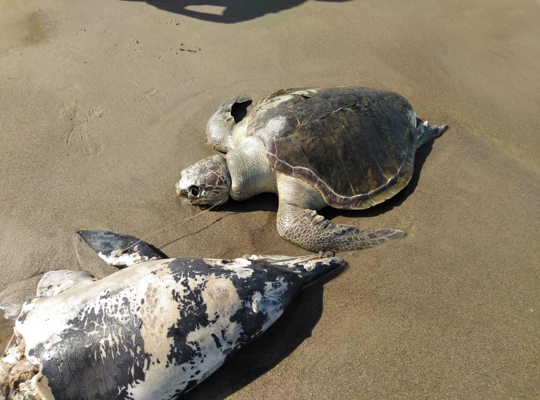 Minec atendió varamiento de delfín y tortuga verde en playa Los Canales