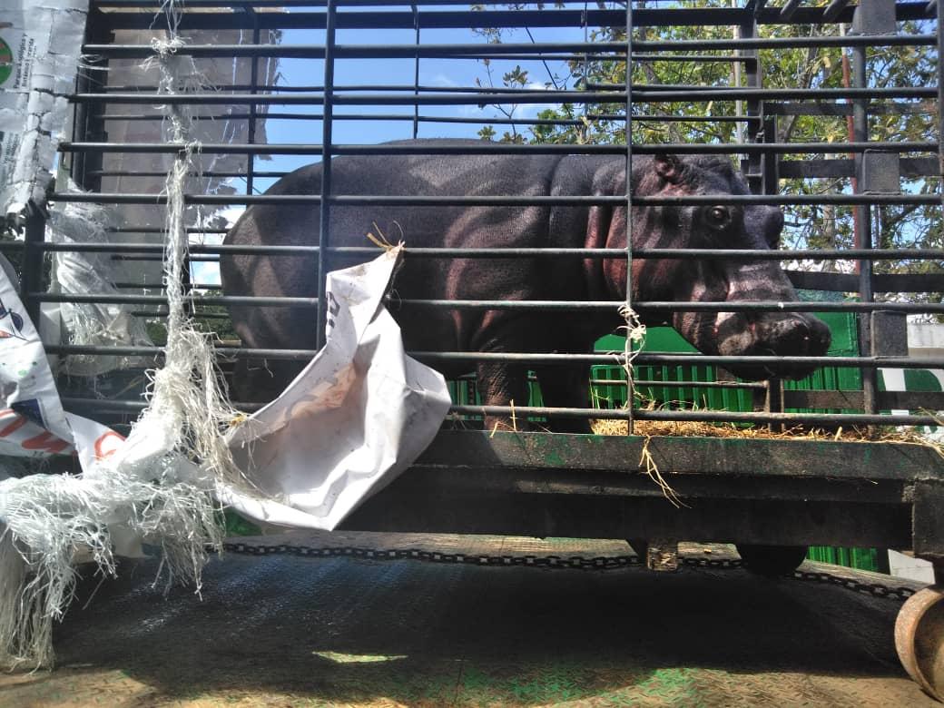 Zoológico de Caricuao recibió con alegría al hipopótamo Guaro