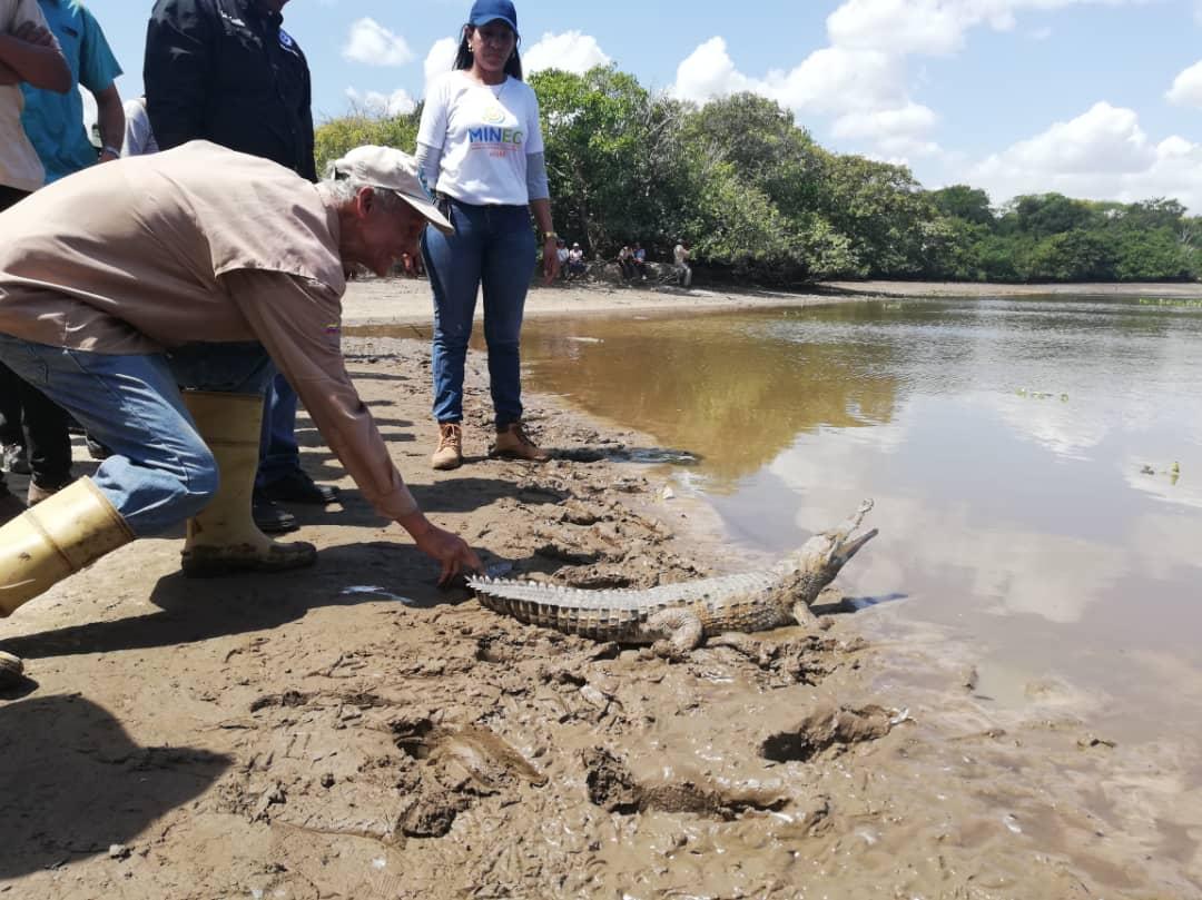 Minec Apure liberó caimanes del Orinoco y tortugas terecay