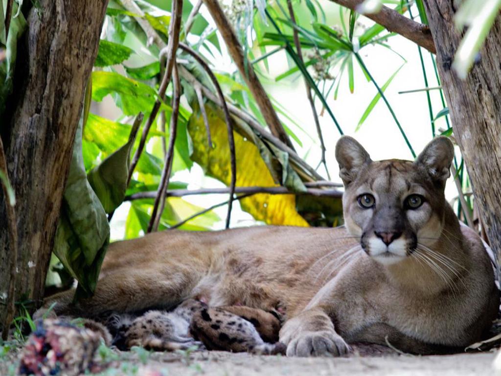 Cuatro felinos nacieron en el Parque Zoológico de Caricuao