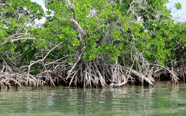 Inparques conmemora Día Internacional de la Defensa del Ecosistema Manglar
